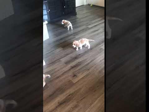 PuppyFinder.com : puppies