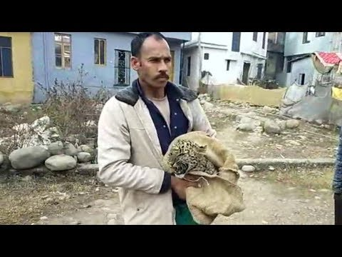 Leopard cub caught alive in Rajouri