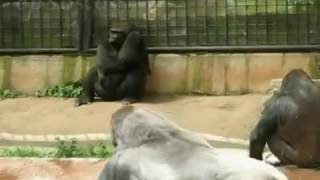 Видео с животными. Смешные животные. Гориллы.