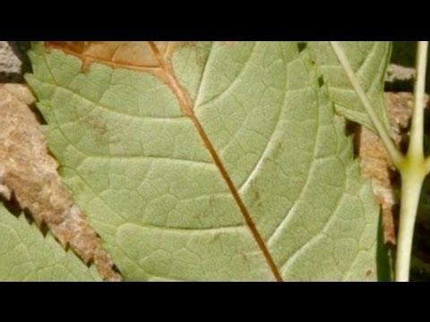 How to spot ash dieback disease
