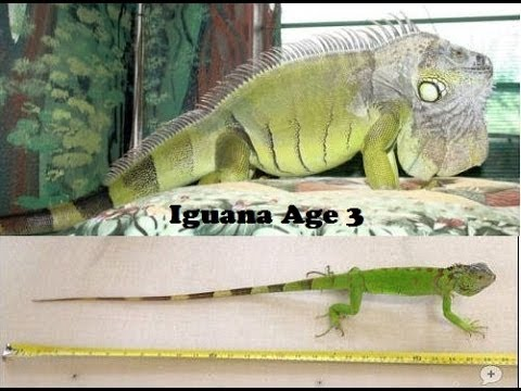 Why isn   my iguana growing big also youtube rh