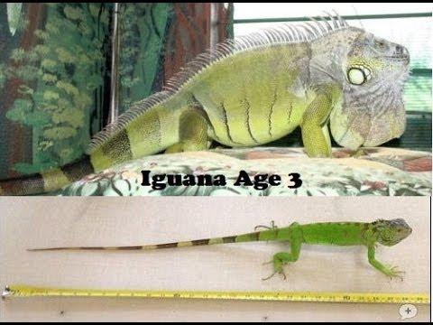 Why Isnt My Iguana Growing Big Youtube