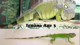 Why isn't my Iguana growing big?