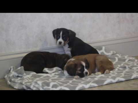 Boston Cavalier Mix Puppies for Sale