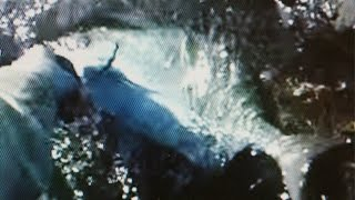 Whipping For Nenue 12(rudderfish)