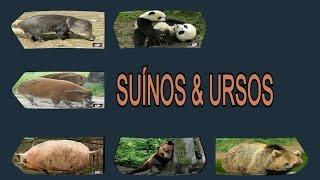 SUÍNOS & URSOS