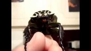 Самый большой жук