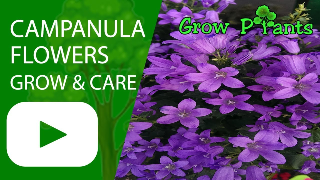 Campanula Flowers Plant Growing And Care Youtube