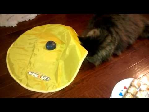 Maine Coon kills Cats Meow toy