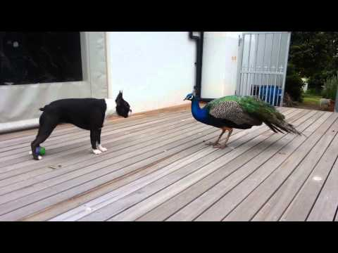 Annabel, Boston terrier, and the young peacock.
