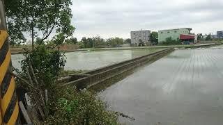 今天來到新竹穹林看看剛插完的秧苗 thumbnail