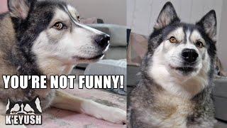 My Husky Really HATES My Bad Jokes and Puns!