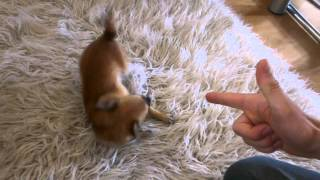 Cute Spike Chihuahua plays dead. Clever dog training - dog tricks