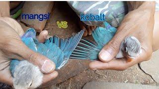 Perbedaan warna lovebird biru mangsi dan biru cobalt