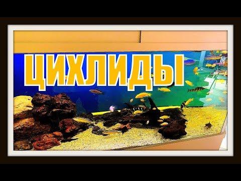 Цихлиды. Аквариумные рыбки