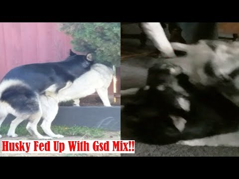 Siberian Husky Inflicting Pain: German Shepherd Mix Annoys Alpha
