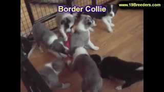 Border Collie, Puppies, For, Sale, In, Indianapolis, Indiana, In, Valparaiso, Goshen, Westfield, Mer