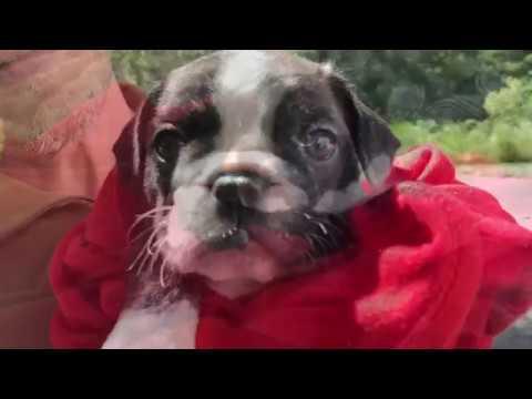 "Award Winning Royal Frenchel French Bulldog Hybrid ""Macy"""