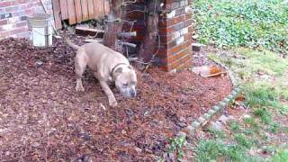 ultimate bullies razors edge, gotti, and gaff. My puppy, Stash at 6...