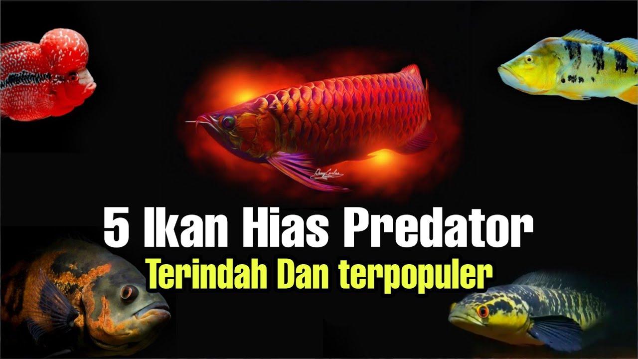 5 Jenis Ikan Hias Predator Air Tawar Terpopuler - YouTube