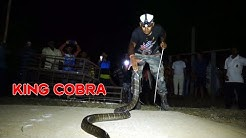 King Cobra Rescue From: Dhamara, Bhadrak, Odisha