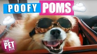 What the Fluff? Funny Pomeranian Dog Videos