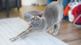 What it feels like to live with Russian Blue Cats