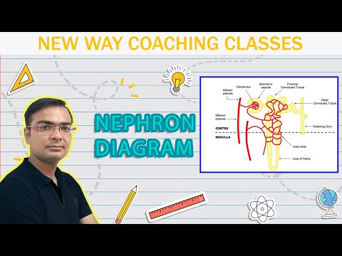 How To Draw A Diagram Of Nephron In A Very Easy Way Youtube