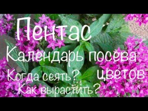 Пентас. Сроки посева цветов на расссаду. Рекомендации  от PanAmerican Seed, Singenta Flowers, Benary