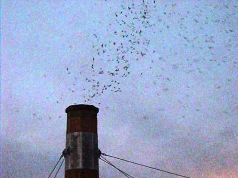 Vaux's swifts at Chapman Elementary School, Portland