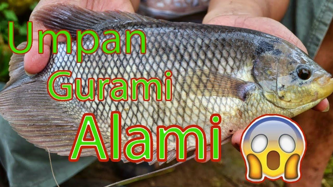 Umpan Ikan Gurami Umpan Ikan Gurame Alami Paling Jitu Kolam Maupun Liar Youtube