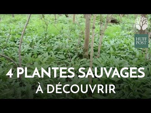 Quatre plantes sauvages comestibles à découvrir dans nos bois