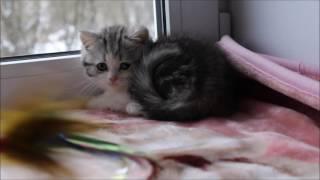 Hloya Tulskaya Krasa. Шотландкая порода. Шотландская страйт. Купить котенка в Туле