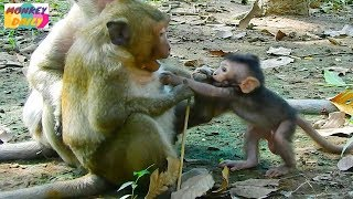 SweetPea reject requesting Timo push baby out | Timo love want to play with SP | Monkey Daily 1799 thumbnail