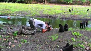 Black Macaques of Sulawesi