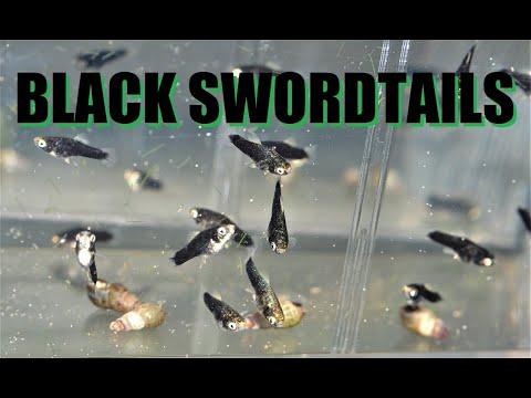 Black Swordtails