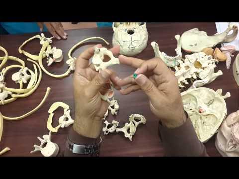 Anatomy (skull & vertebral column  تشريح الجمجمة والعمود الفقري )