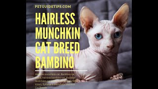 Hairless Munchkin Cat Breed Facts and Lifespan | Bambino Cat | Animal Planet