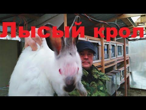 Кролик облысение Почему у кролика выпадает шерсть