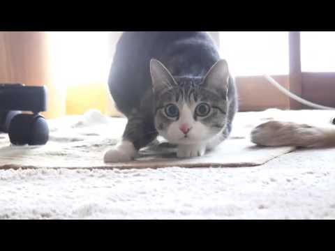 Kuroneko no tango cat dancing