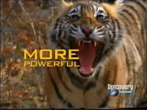 DUELO ANIMAL LEON VS TIGRE 45 YouTube