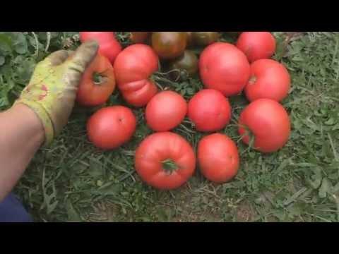 """Сорта томатов """"Розовый слон"""" и """"Виагра""""   помидоры   томатов   розовый   урожай   томаты   огород   виагра   сорта   сорт   слон"""