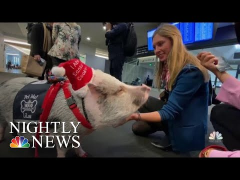 Maria Milito - A Therapy Pig To Calm Your Holiday Nerves!