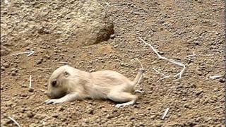 コケるプレーリードッグの赤ちゃん5連発。Baby Prairie Dog falls down....