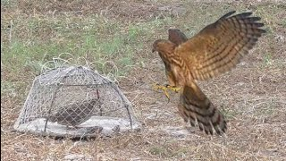 Trapping Goes Wrong || falcon trap, hawk trap, eagle trap || wildlife today