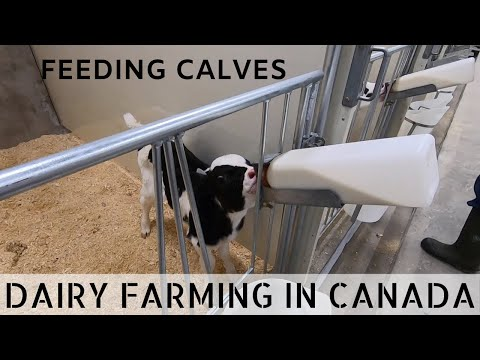 Feeding Calves In New Calf Barn