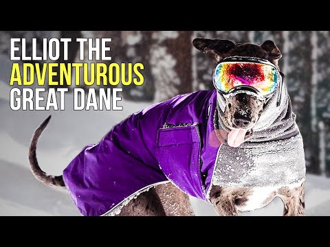 Meet Elliot The Adventurous Great Dane