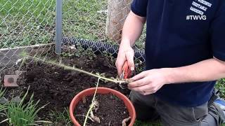 Planting Horseradish - Straight to the Point