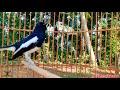 Pancingan Kacer Harian Rumahan Tambah Rajin Bunyi Ngeplong  Mp3 - Mp4 Download