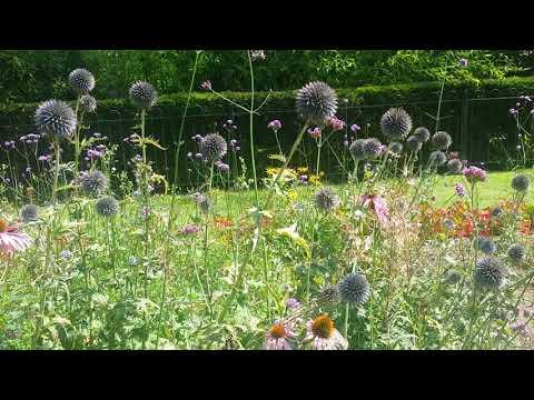 echinops,-globe-thistle-ball-flowers.